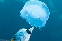 BD-120423-Fury-Shoal-6166-Aurelia-aurita-(Linnaeus.-1758)-[Moon-jelly.-Öronmanet],-Chaetodon-auriga.-Forsskål.-1775-[Threadfin-butterflyfish.-Flaggfisk].jpg